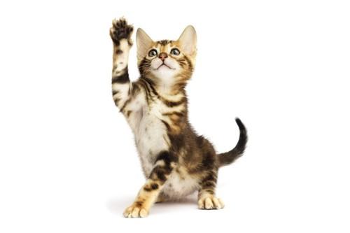 しっぽを立ててる猫