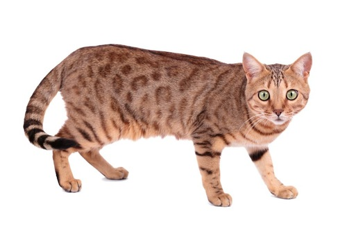 こちらを見つめるベンガル猫
