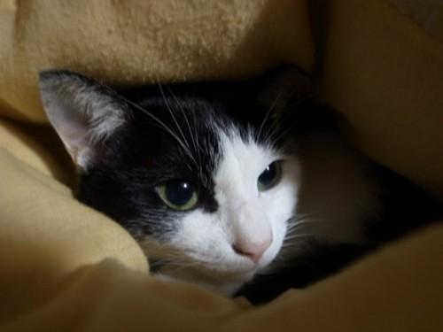 黒白猫のアップ
