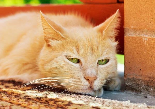伏せる茶色のきじ猫