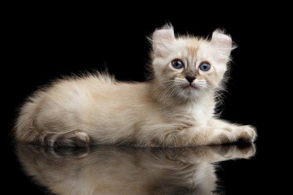 アメリカンカール子猫