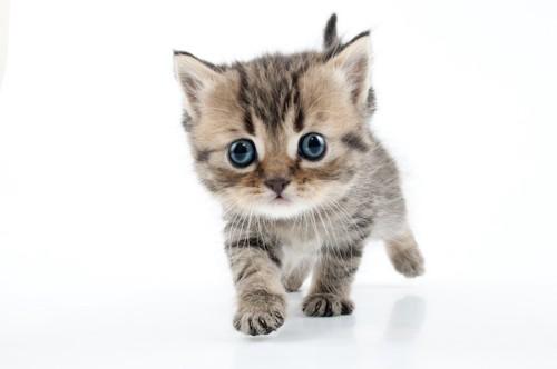 こちらに向かってくる子猫