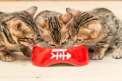 赤いフード入れと3匹の仔猫