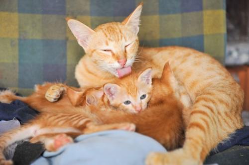 子猫たちのお世話をする母猫