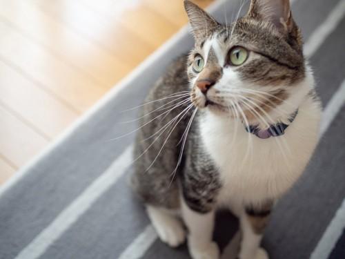 カーペットの上に座って見上げる猫
