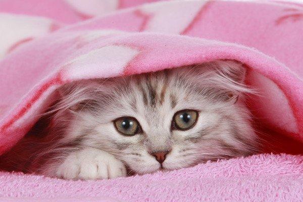ピンクの毛布に入る猫
