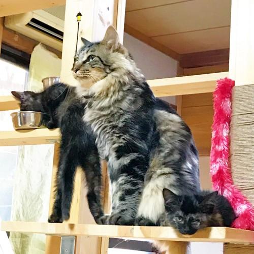ねこやカフェの猫