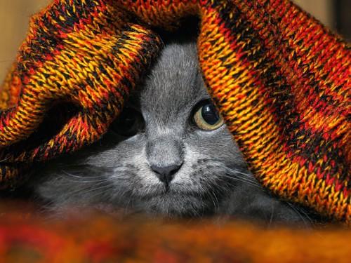 ブランケットに潜ってこちらを見る猫
