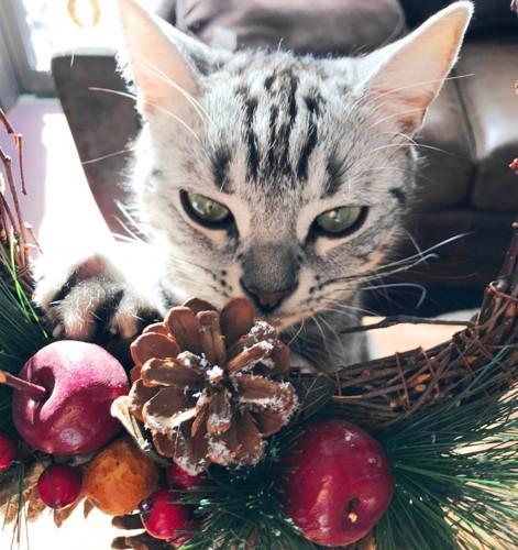 クリスマスリースとアメリカンショートヘア