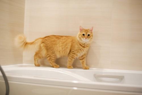 お風呂場で遊ぶマンチカン