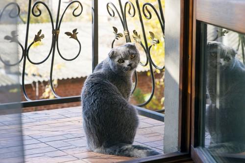 開いたドアの外にいるスコティッシュフォールド