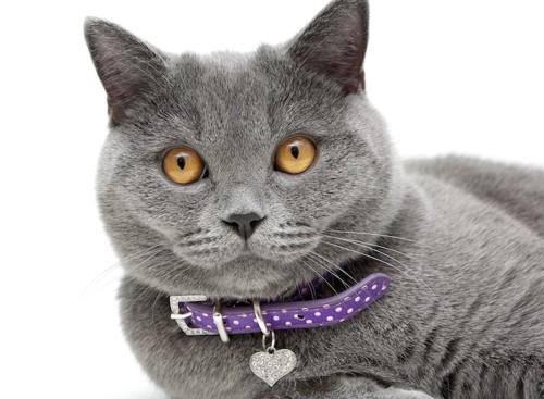 紫の首輪を付けた灰色の猫