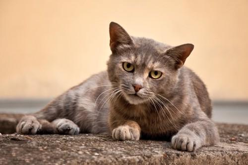 構って貰うのを期待する猫
