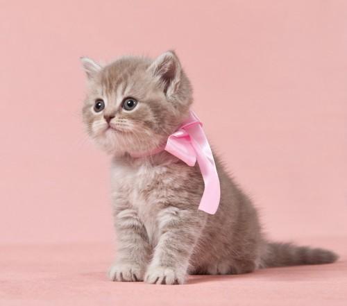 ピンクリボンの猫