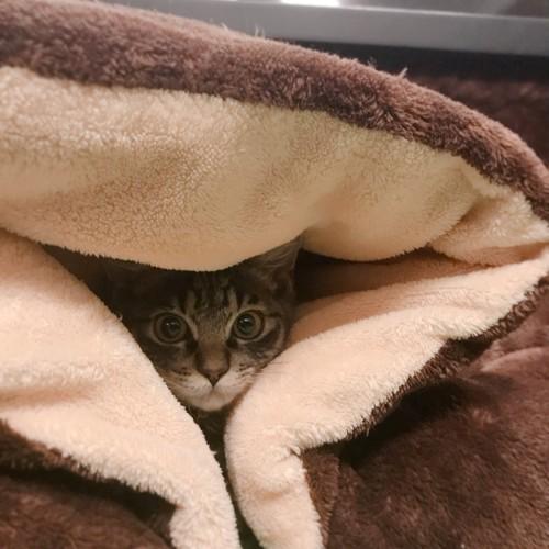 こたつ布団の隙間から見ている猫