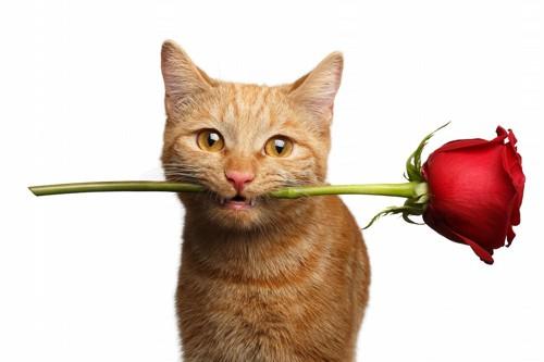 女好きでバラを贈ろうとしている猫