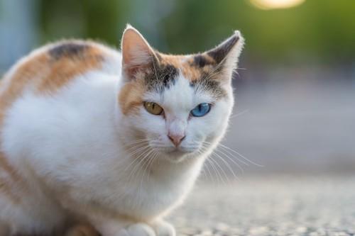こちらを見つめるオッドアイの三毛猫