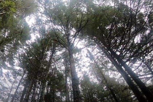 ピカソが立ち往生した木