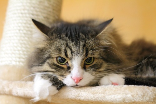 キャットタワーから不機嫌そうにこちらを見る猫