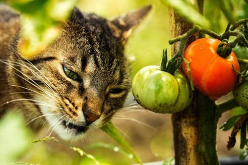 トマトの側にいる猫