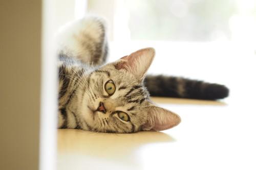 こちらを向いているアメリカンショートヘアの子猫