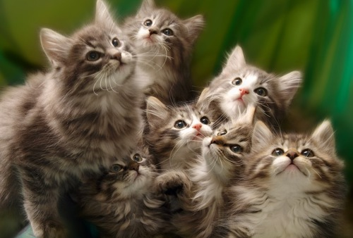 ノルウェージャンの子猫大集合