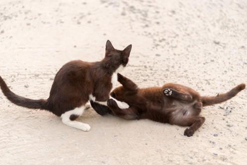 猫のケンカごっこ