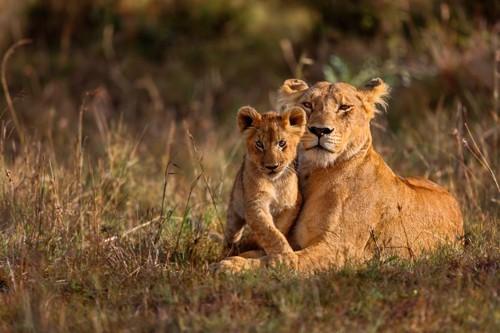 こちらを見つめるライオンの親子