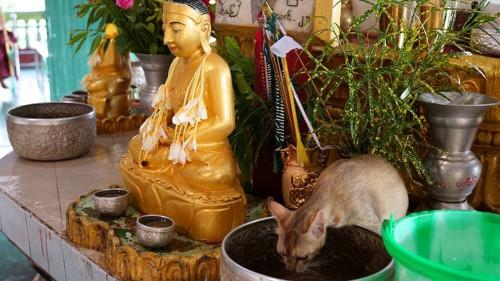 釈迦像の隣で水を飲む猫