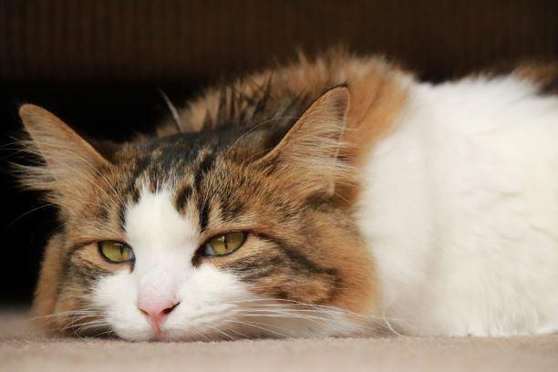 目を半分閉じてつちのこ寝をする長毛種の猫