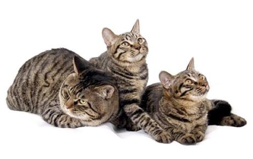 3匹のドラゴンリー猫