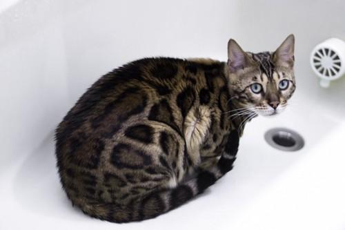 空っぽのお風呂の中にいる猫