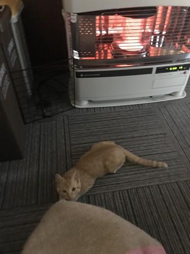 寒い朝はストーブでぬくぬく する猫
