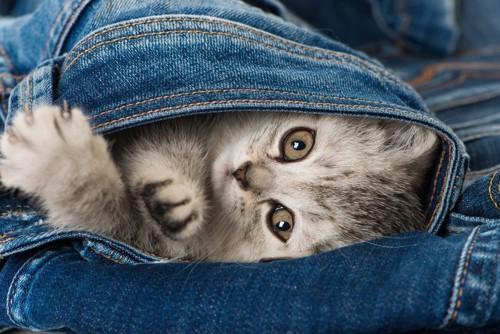 ジーンズの中の猫