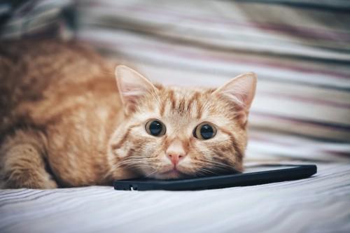 スマホの上にあごを乗せて寝そべる猫