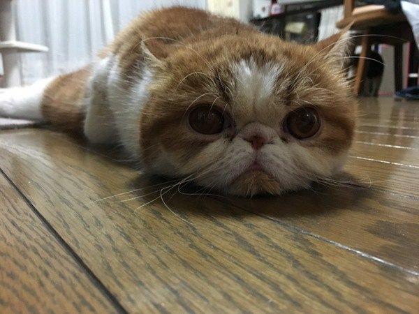 目を見開いてつちのこ寝をする猫