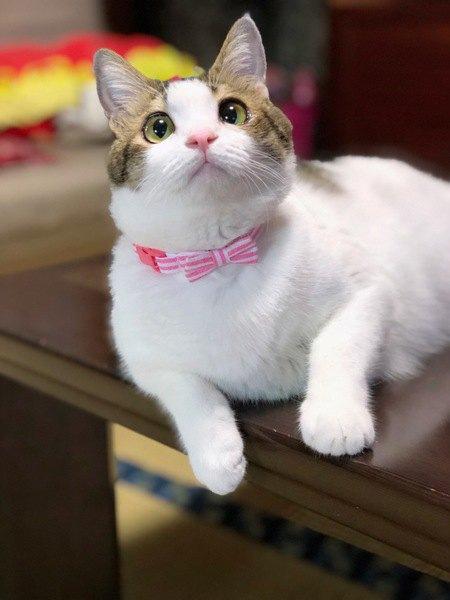 ピンクのリボンの首輪の猫