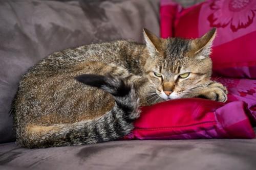 不満そうな顔で寝そべる猫
