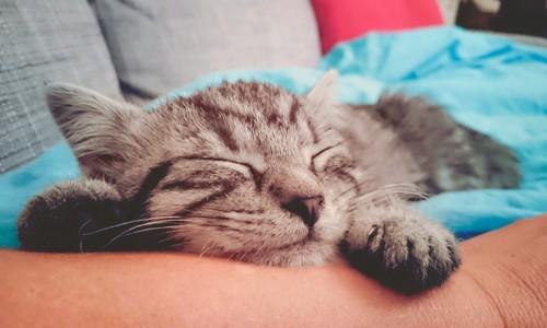人の腕を枕にして寝ているアメリカンショートヘア