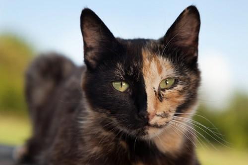 顔の右半分が黒、左半分が茶色の猫