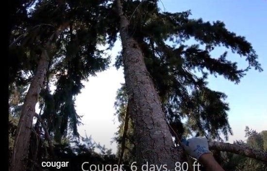 クーガーが立ち往生する木