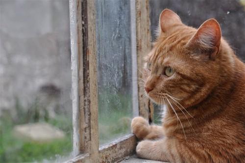 窓を見ている猫