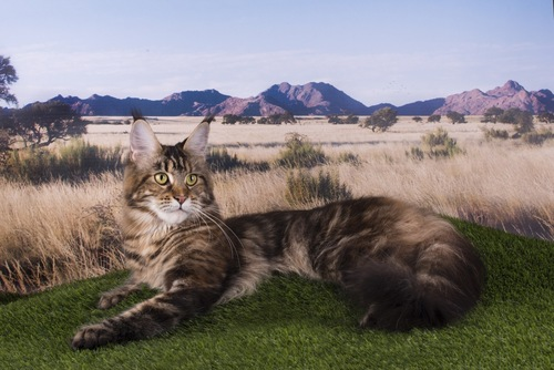草原のメインクーン