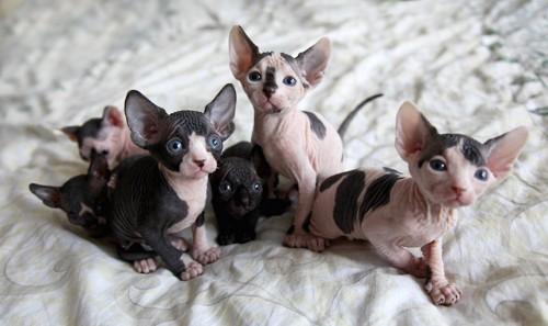 ベッドの上で寄り添う6匹のスフィンクスの子猫