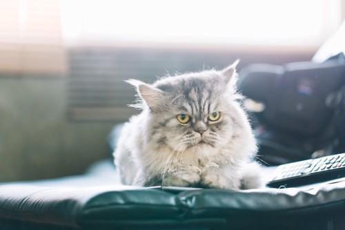 眉間にしわを寄せているように見える猫