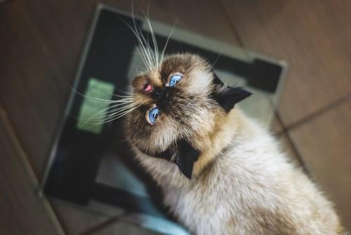 体重計に乗って上を見上げる猫