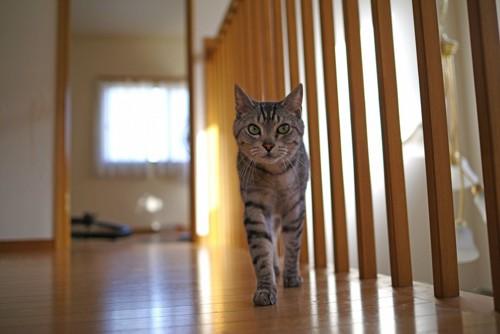 家の中を歩く猫