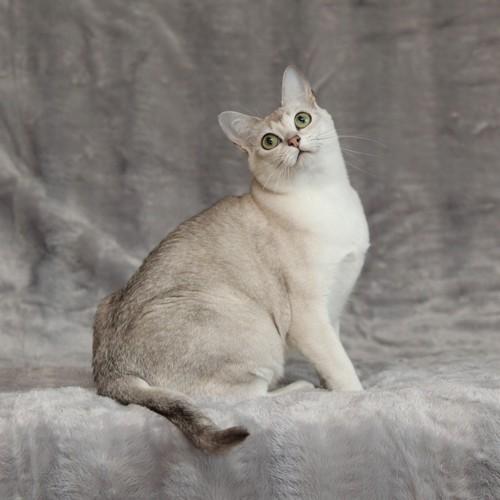 バーミラ成猫