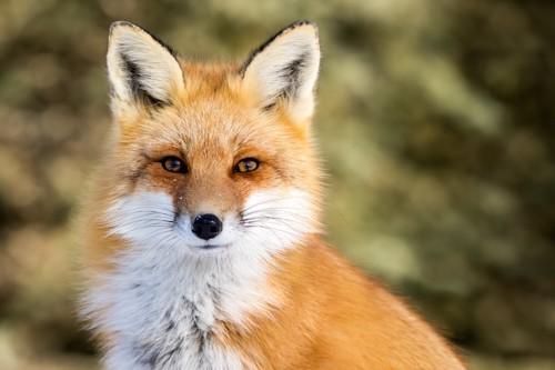 まっすぐ見つめる狐