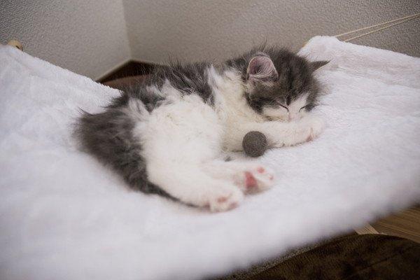 ノルウェージャンの寝ている子猫